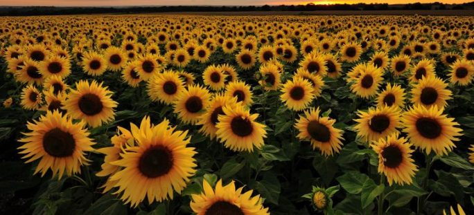 cropped-gallery-1460725080-sunflower-field.jpg